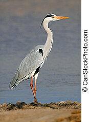 Grey heron (Ardea cinerea) standing in natural habitat,...