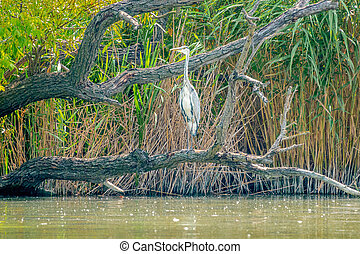 Grey Heron, Ardea cinerea, standing on a branch