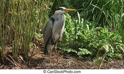 grey heron (Ardea cinerea) stands still at the bank of a...