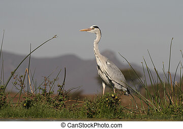 Grey heron, Ardea cinerea, single bird by water, South...