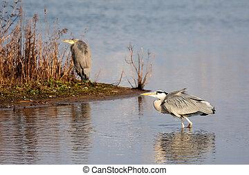 Grey Heron (Ardea cinerea) walking in the Water