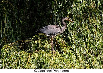 Grey heron bird Specie Ardea cinerea family of ardeidae