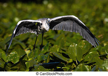 Grey heron flying closer just above waterlilies on water in ...