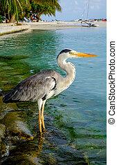 Grey Heron - Grey Chiron on the beach. Maldives Indian Ocean...