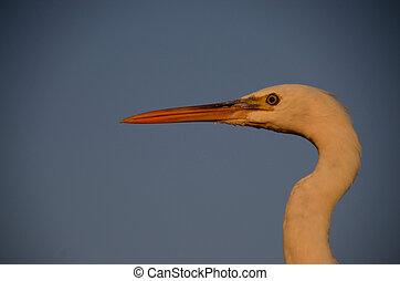 grey heron head