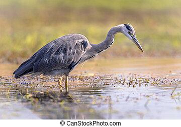 Grey heron hunting for fish - Grey heron (Ardea cinerea) ...