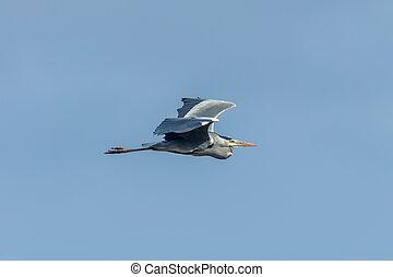 Grey Heron in flight (Ardea cinerea) blue sky