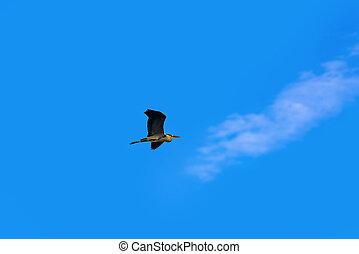 Grey heron in the sky - Grey heron flies in the sky