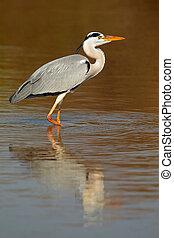 Grey heron in water