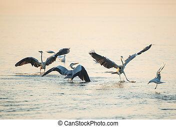 Grey Heron in waterland