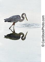 Grey Heron Looking at Ripples in Water - Beautiful grey...
