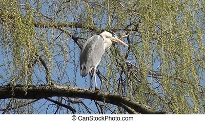 Grey Heron on the branches of a tre