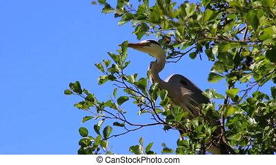 Grey Heron on Tree Branch