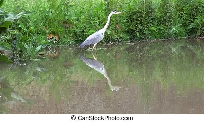 A grey heron is searching for pray in the swamp.
