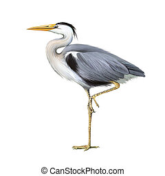 Grey Heron standing, Ardea Cinerea, isolated on white
