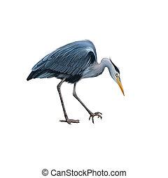 Grey Heron standing bent down, Ardea Cinerea - Grey Heron...