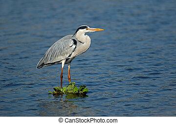 Grey heron standing in shallow water