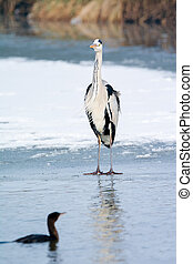 Grey Heron standing in the snow