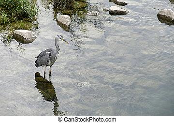 grey heron standing in water