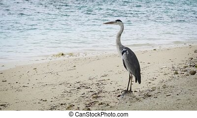 Grey Heron Standing on a Tropical Beach in the Maldives