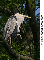 Grey heron standing on branch
