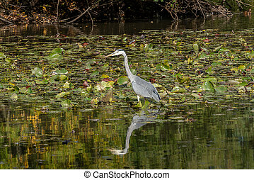Grey Heron wading through a lake looking for fish by the lily pads