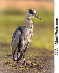 Grey heron waiting in wetland - Grey heron (Ardea cinerea) ...