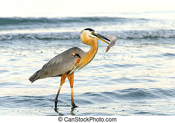 Grey Heron with Catch - A grey heron at the ocean with a...
