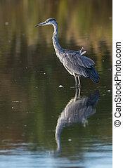 Grey Herons fishing - The Grey Heron (Ardea cinerea) waits...