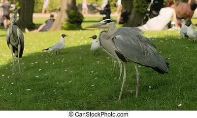 Grey herons in a park, trying to steal food