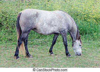 Grey Horse in a meadow grazing