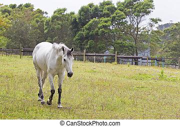 Grey horse walking
