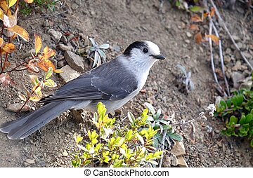 Grey Jay or Whiskey Jack bird. - Manning Park. Hope. British...