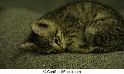 Grey kitten asleep curled up into a ball