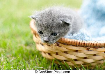 Grey kitten in a basket