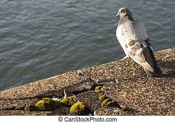 grey light and dark Pigeon standing  on water breaking wall with moss