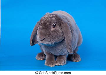 Grey lop-eared rabbit rex breed on the blue background
