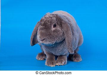 Grey lop-eared rabbit rex breed on blue - Grey lop-eared...