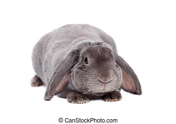 Grey lop-eared rabbit rex breed on white - Grey lop-eared...