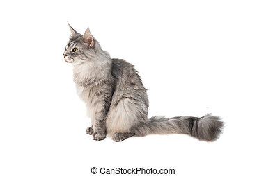 Grey Maine Coon cat sits on a white background