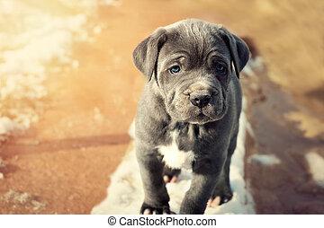 Grey Neapolitan Mastiff puppy