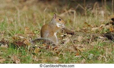 Grey or Gray Squirrel (Sciurus carolinensis) feeding on...