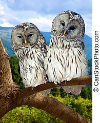 Grey Owls couple on tree at forest in winter