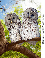 Grey Owls couple on tree at forest