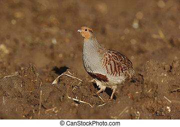 Grey partridge, Perdix perdix, Norfolk, Nov 2009