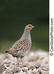 Grey partridge, Perdix perdix, single bird on gravel, ...