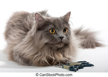Grey Persian cat and tools for care - Grey Persian cat,...