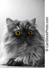 Grey Persian cat on a grey background. Bright yellow eyes.