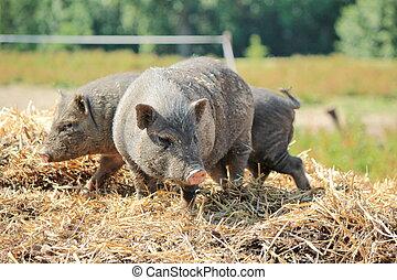 Grey pigs