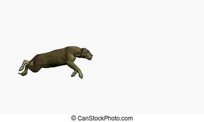 Grey Puma Running - Grey puma running on a white background